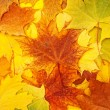 Maple leaves — Stock Photo #6635952
