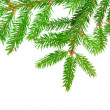 Foto de Stock  : Green fir
