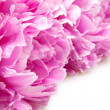 Stock Photo: Peonies