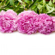 Peonies — Stock Photo #6636231