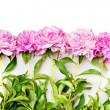 Peonies — Stock Photo #6636232