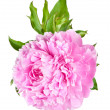 Peonies — Stock Photo