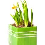 Lent lily — Stock Photo