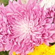Chrysanthemum — Stock Photo #6636362