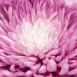 Chrysanthemum — Stock Photo #6636371