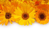 Marigolds — Stockfoto