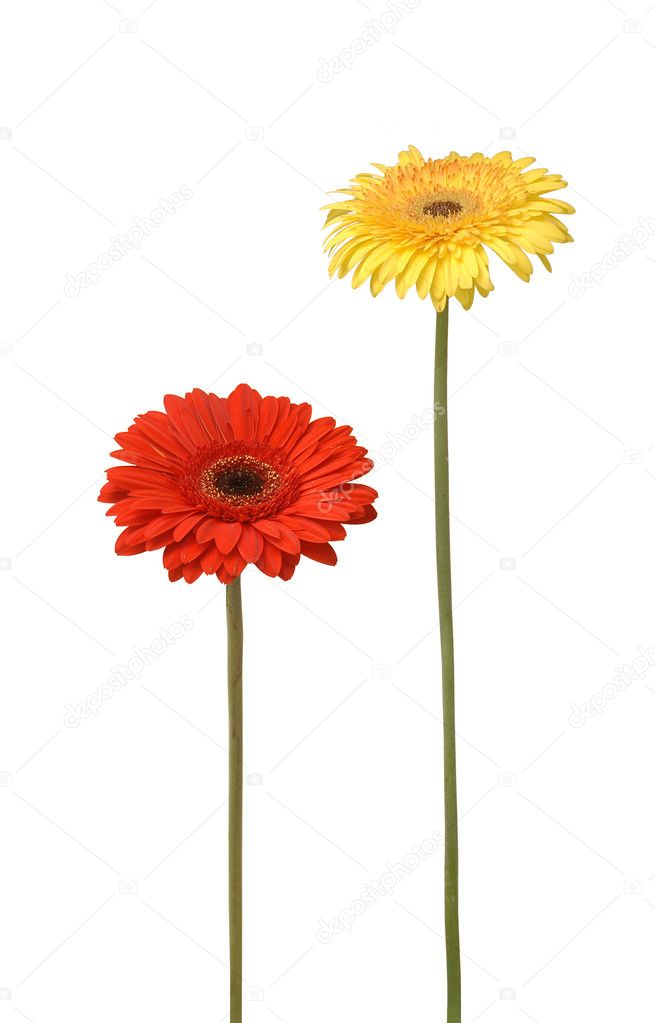 Two gebera (african daisy) isolated on white — Stock Photo #6636309