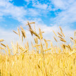 Field of rye — Stock Photo #6734575