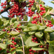 Viburnum — Stock Photo #6735040