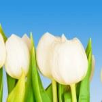 Tulips — Stock Photo #6735187