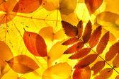 黄色和红色的叶子 — 图库照片
