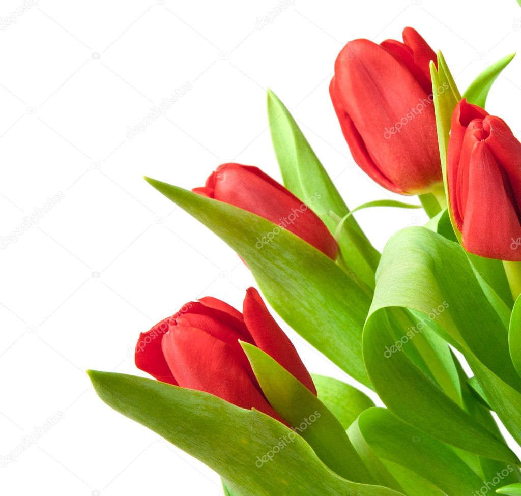 Red tulips isolated on white — Stock Photo #6735130