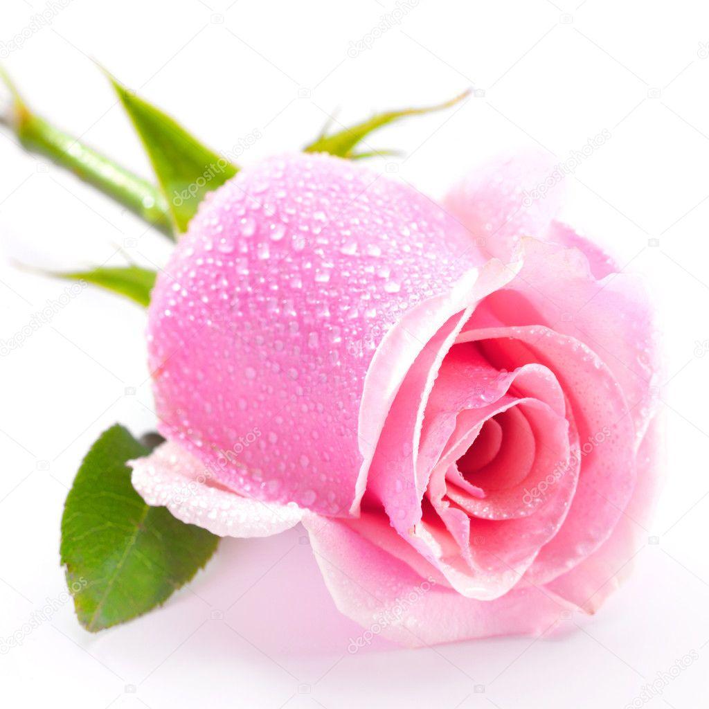 Pink rose isolated on white background — Stock © Irochka