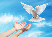 Hands released into the sky to the white dove — Stock Photo