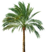 Palm tree isolated — Stock Photo