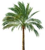 Palmeira isolada — Foto Stock
