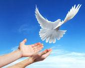 Handen vrijgegeven in de lucht naar de witte duif — Stockfoto