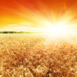 Sun is setting over the field of wheat — Stock Photo