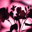 Pink flower silhouette — Stock Photo