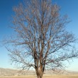 Royalty-Free Stock Photo: Old bare tree on bright blue sky background
