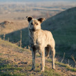 Asian wildlife dog in mountain - Stok fotoğraf