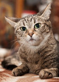 Portrait of a cat with big eyes at home on the couch — Stock Photo