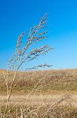 ブランチの乾燥の雑草 — ストック写真
