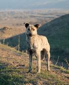 Asian wildlife dog in mountain — Stock Photo