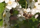 Apple tree flower and bee closeup — Stock Photo