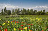 Red poppies and yellow flowers against a background of forests a — Stock Photo