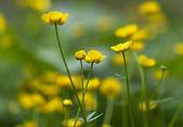 Green fields of beautiful yellow buttercups — Stock Photo