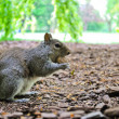 Squirrel in Hyde Park, London, UK — Stock Photo