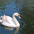 White swan in Hyde Park, London — Stock Photo