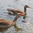 Two geese in water — Stock Photo