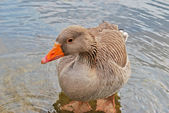 Goose in water — Stock Photo