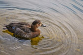 Small duck in water — Stock Photo