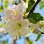 Постер, плакат: Apple tree in blossom