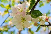 Apple tree in blossom — Stock Photo