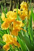 Yellow irises in the garden — Stock Photo