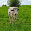 A cow on the pasture — Stock Photo