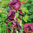 Beautiful purple irises in the garden — Stock Photo