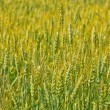 Fields of wheat — Stock Photo
