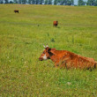Cows on the pasture — ストック写真