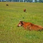 vacas en el pasto — Foto de Stock