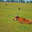 Cows on the pasture — Stock Photo #5890431
