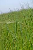 Lány pšenice — Stock fotografie