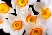 White narcissus flowers with yellow petals background — Stock Photo