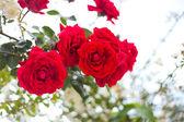 Rosas en el jardín — Foto de Stock