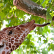 Giraffe eating green leaves on the tree — Stock Photo