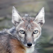 Staring corsac fox — Stock Photo